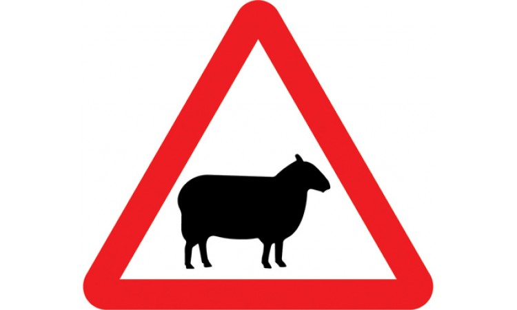 Sheep likely to be in road ahead
